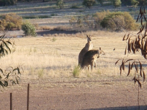 A couple of roos loose in the top paddock